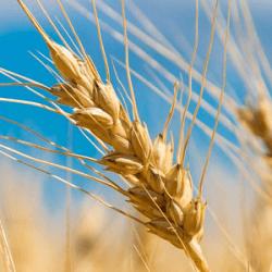 Pšenica sa pestuje už stovky rokov