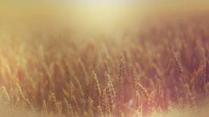 Škodci a pšenica